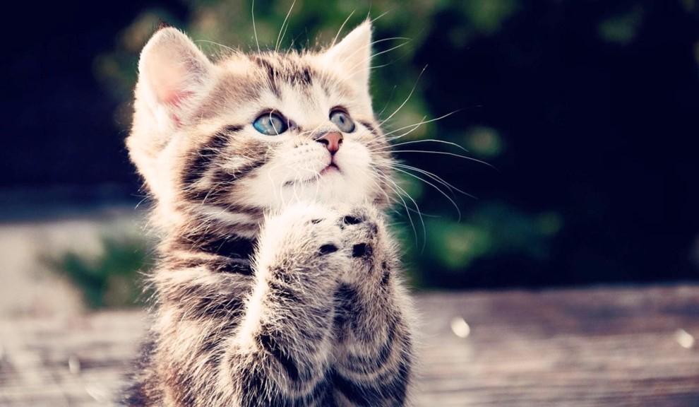 adorable-cat-hdwallpaper