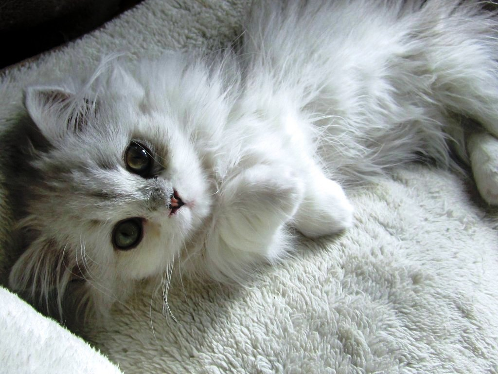 white-cat-cute