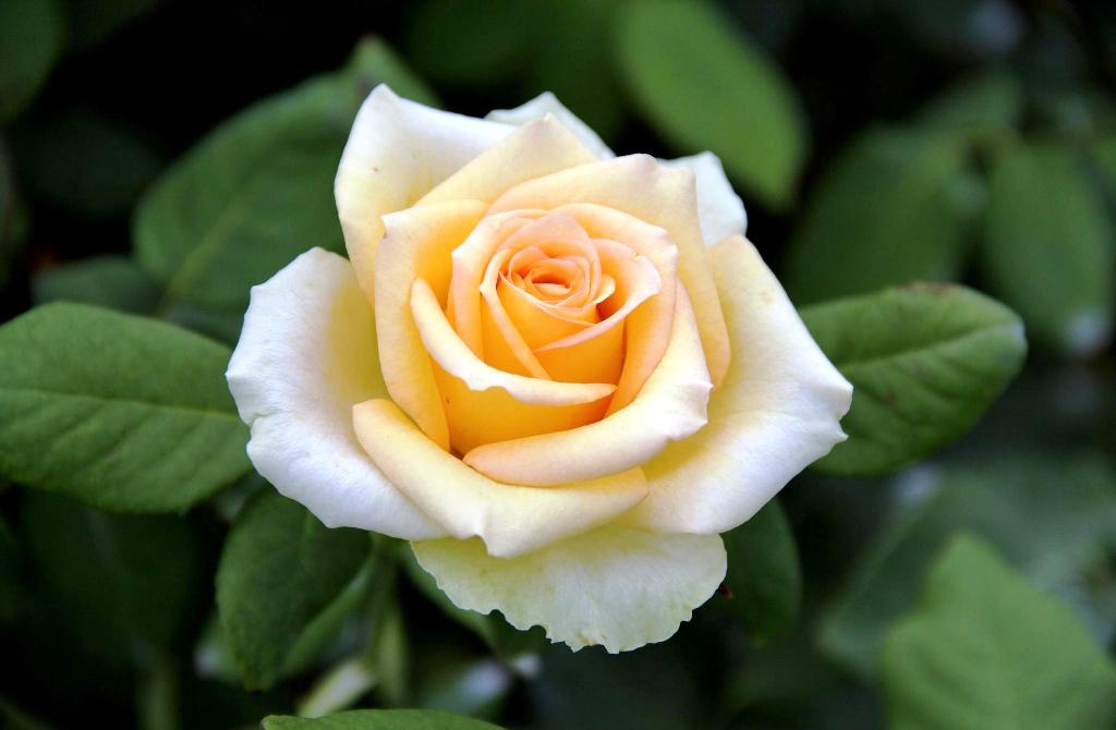 yellow-rose-wallpaper